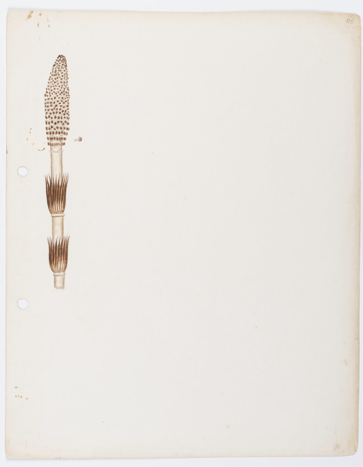 illustration of a horsetail plant by Keble Martin