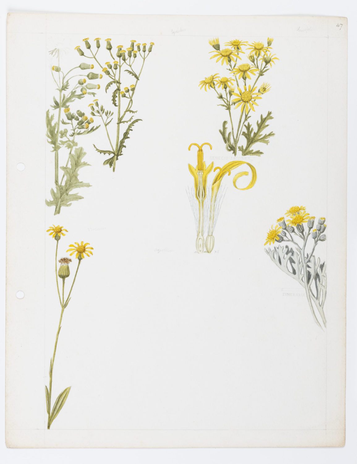 Illustration of Compositae: ragwort, fleawort and grounsel by Keble Martin