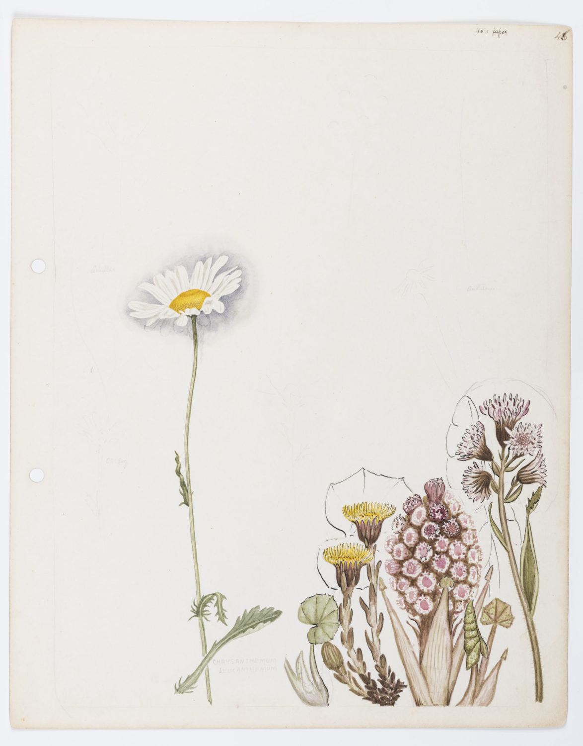 Illustration including ox-eye daisy (Chrysanthemum leucanthemum) by Keble Martin