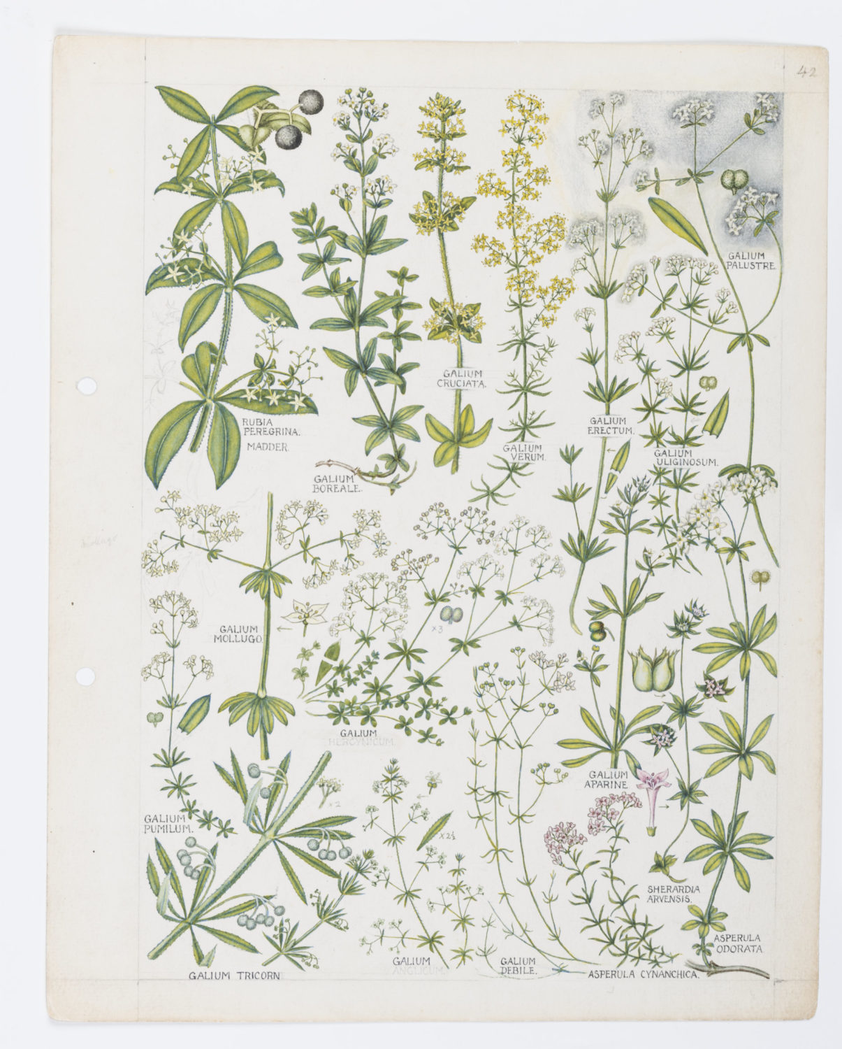 Illustration of Rubiaceae: bedstraws and nettles by Keble Martin
