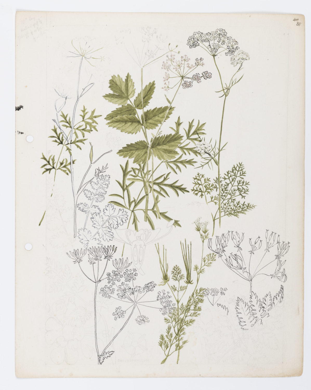 Illustration of Umbelliferae: umbels by Keble Martin