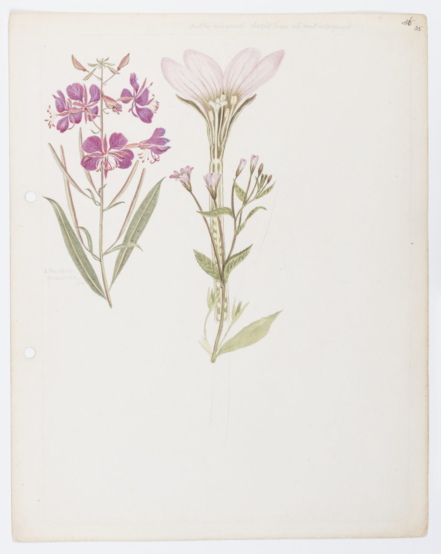 Rose bay (Epilobium angustifolium)