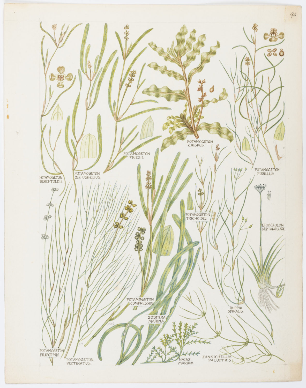 Illustration of Potamogetonaceae: pondweed. by Keble Martin