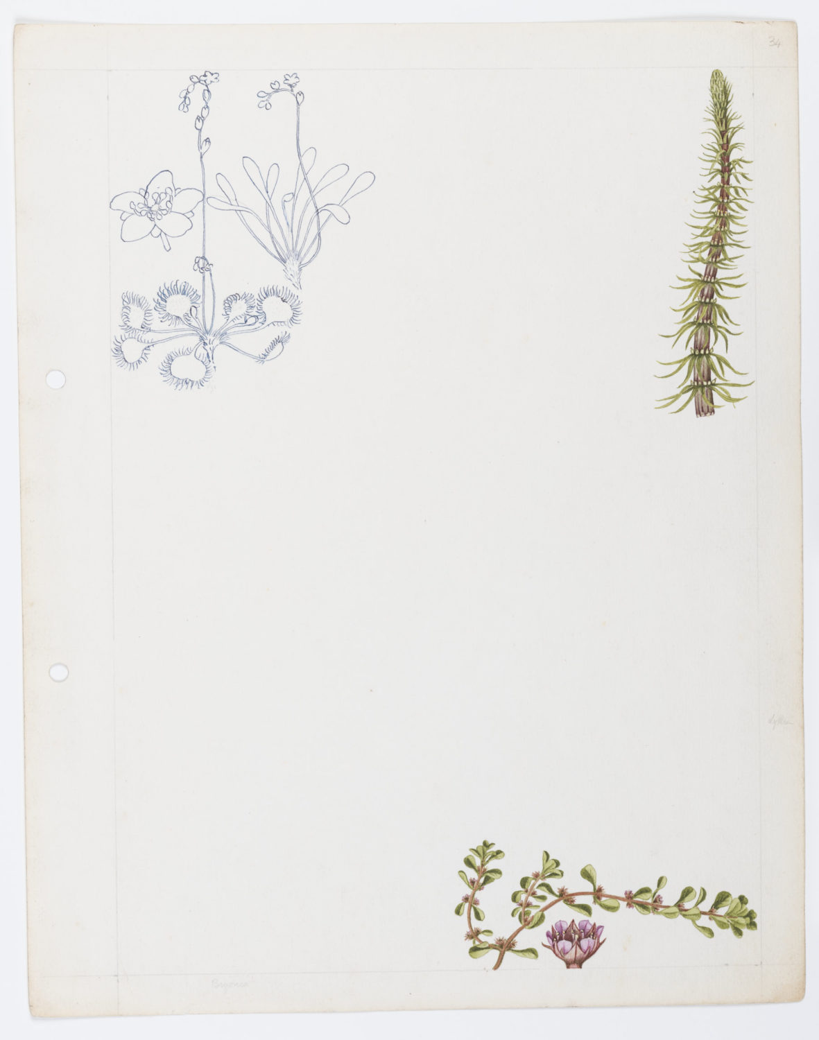 Illustration of Sundew, mare's tail and water purslane by Keble Martin
