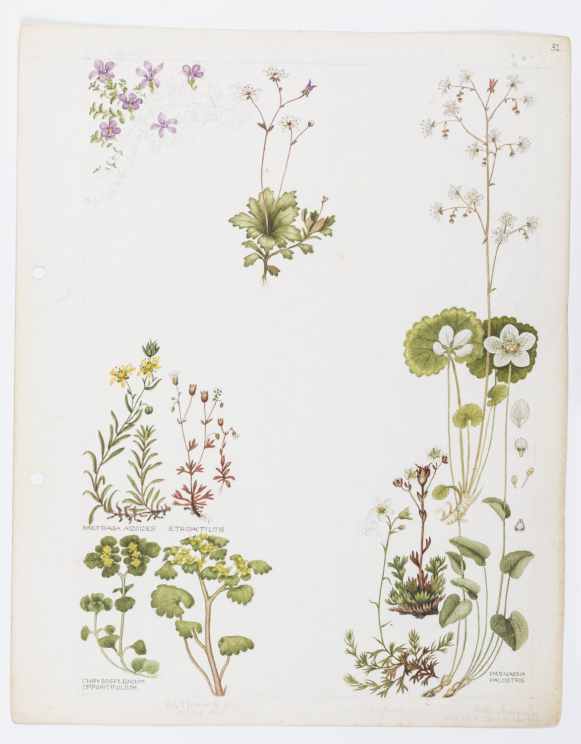 Illustration of Saxifragaceae: saxifrage by Keble Martin