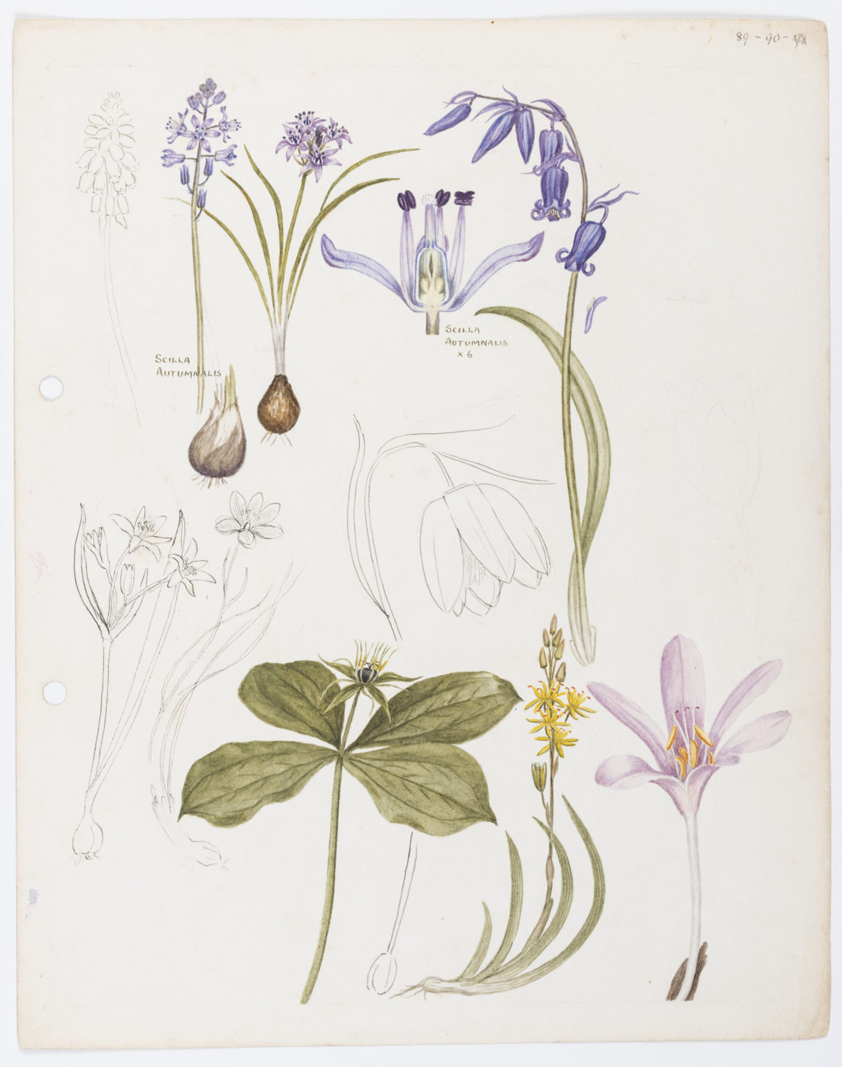 Illustration of Liliaceae: lilies by Keble Martin