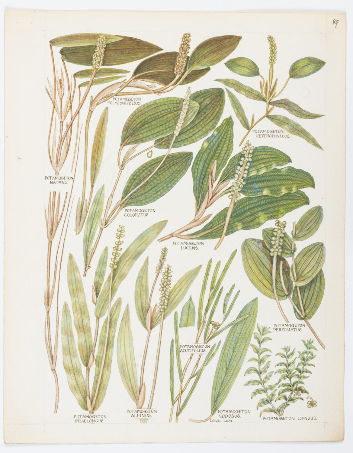 A botanical illustration by Keble Martin