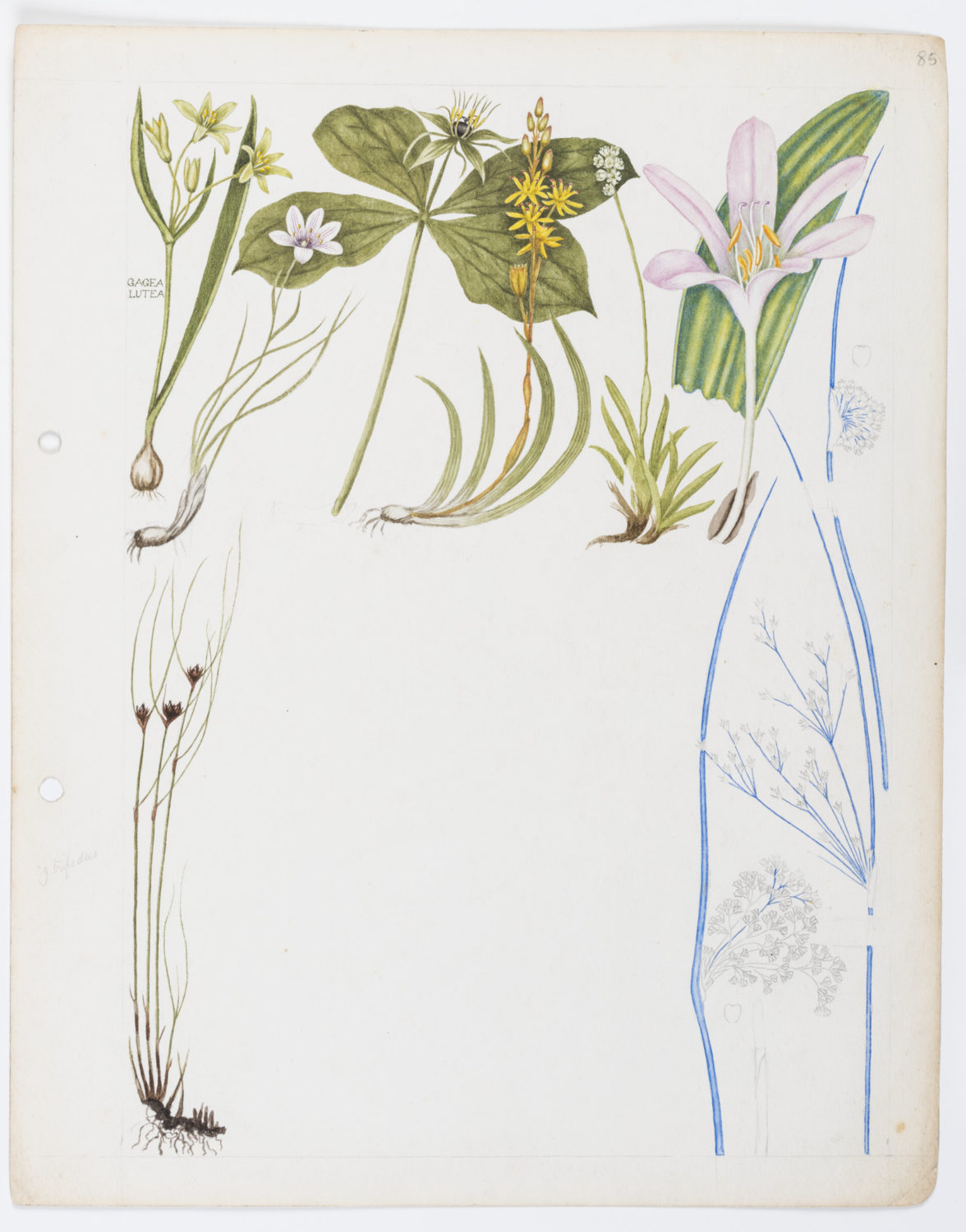 Illustration of Liliaceae & Juncaceae: lilies and rushes by Keble Martin