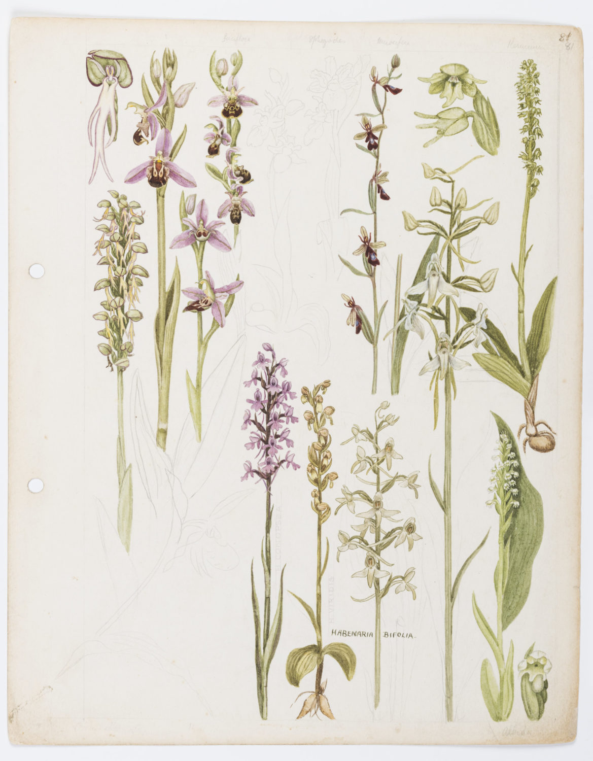 Illustration of Orchidaceae: orchids by Keble Martin