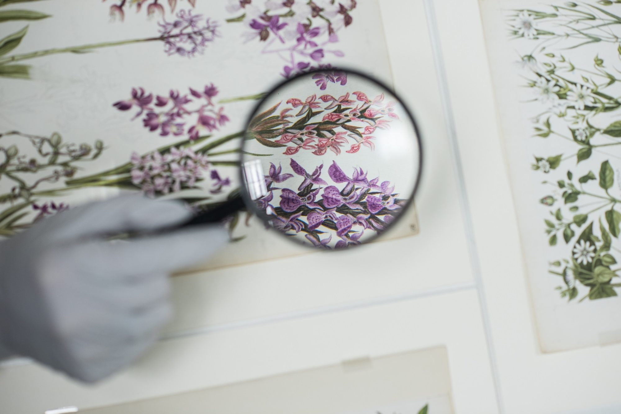 A botanical illustration by Keble Martin looked at through a magnifier