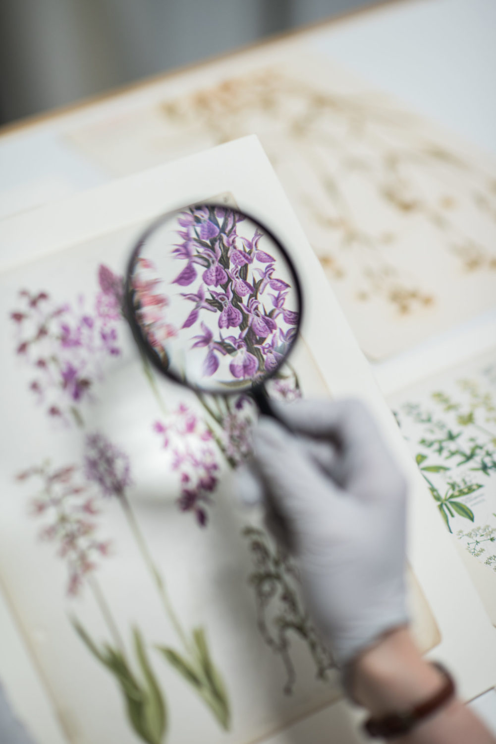 A curator uses a magnifier to examine the 'The Concise British Flora in Colour' by Keble Martin