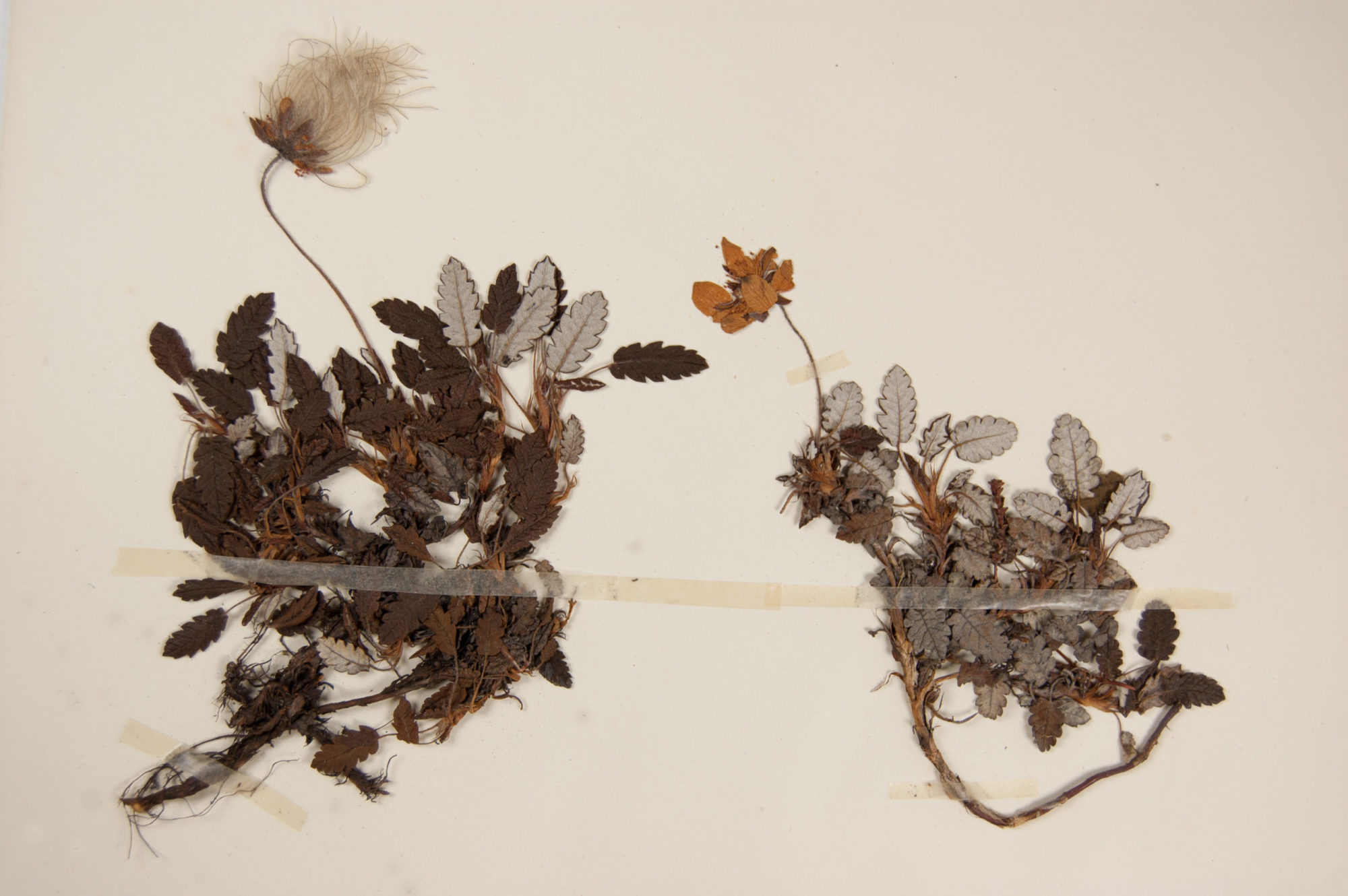 Mountain avens (Dryas octopetala) from Keble Martin's herbarium