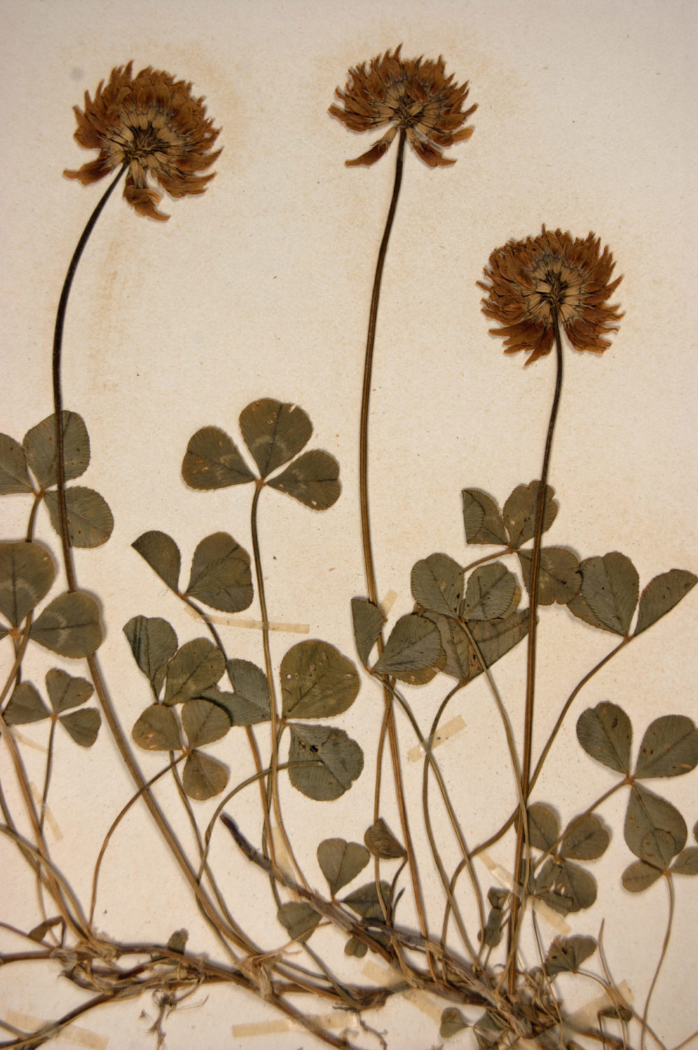 White clover (Trifolium repens) collected at Dartington Parsonage 4 July 1903 collected by Keble Martin