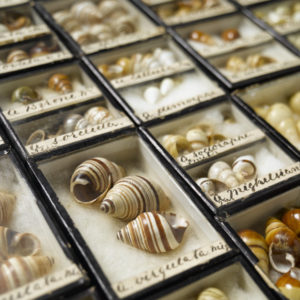 Hawaiian tree snails in cases