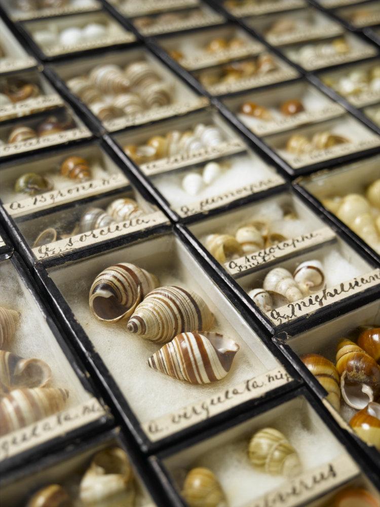 Hawaiian tree snails in cases