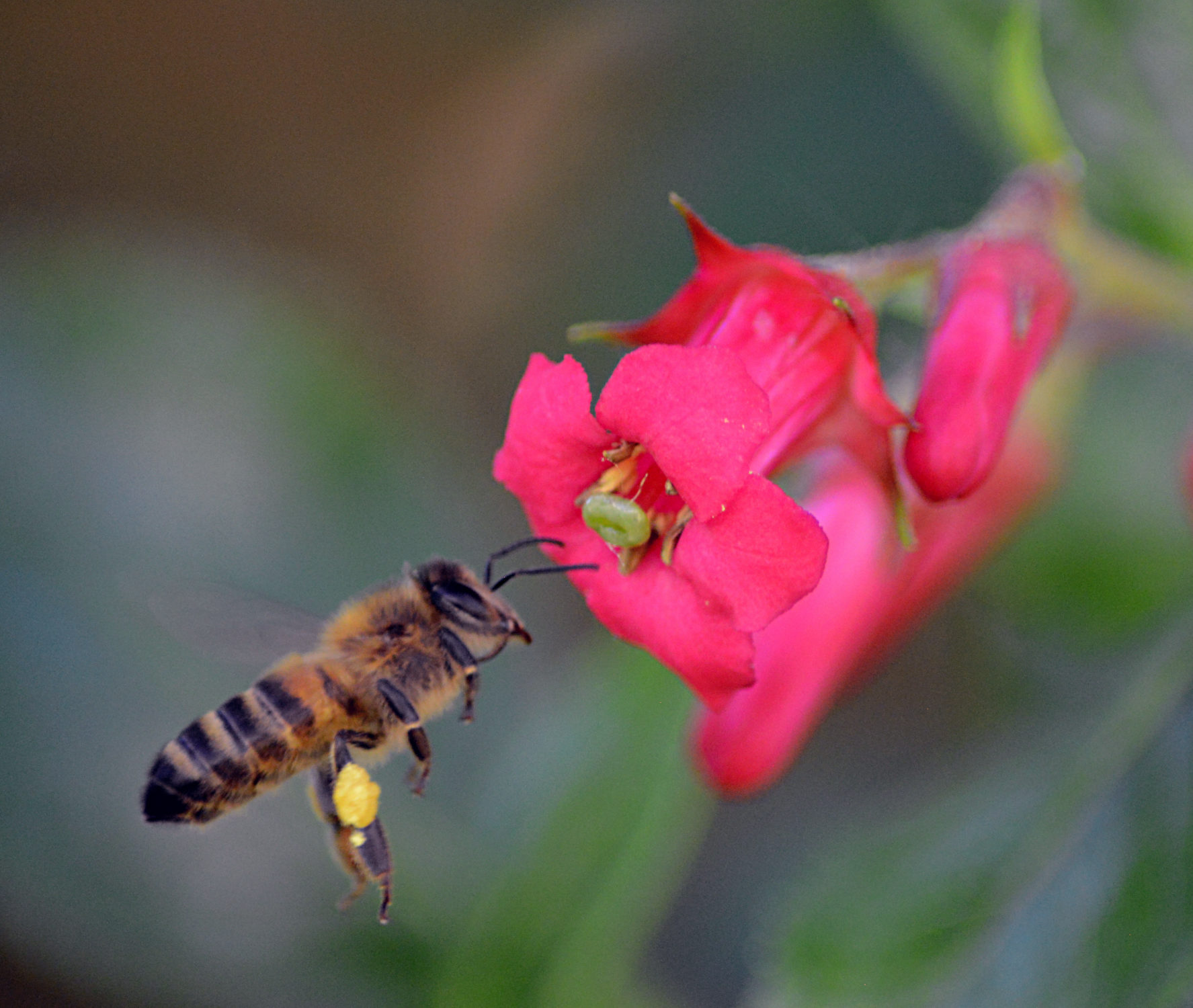 Close-up photograph of a bee collecting pollen from a vibrant pink Escallonia flower.