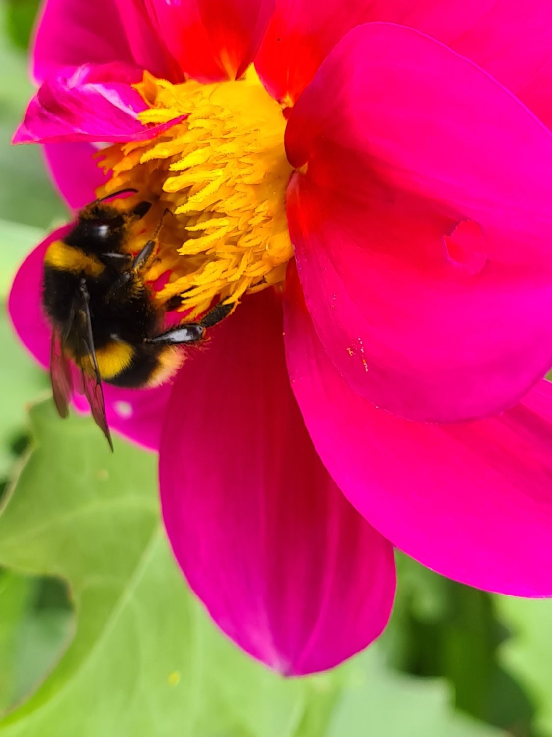 Close-up photograph of a bumblebee collecting pollen from the centre of a vibrant pink flower.