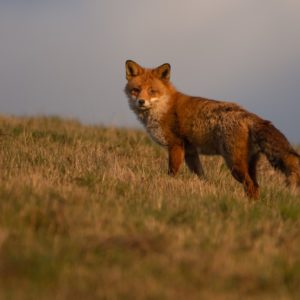 Photograph of a fox looking back at the camera, with a moody grey sky in the background and standing in dry grass.