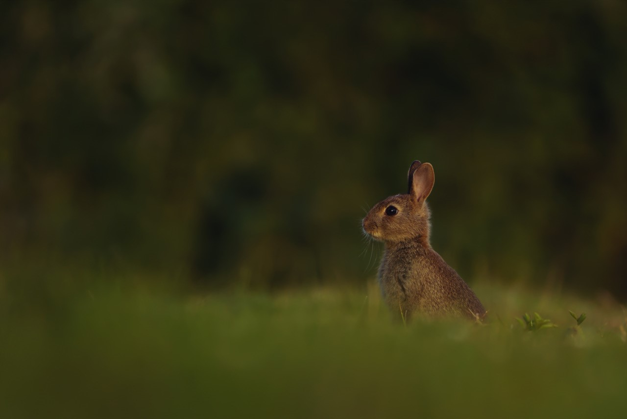 Photograph of a rabbit sat upright in the grass and looking off to the left.