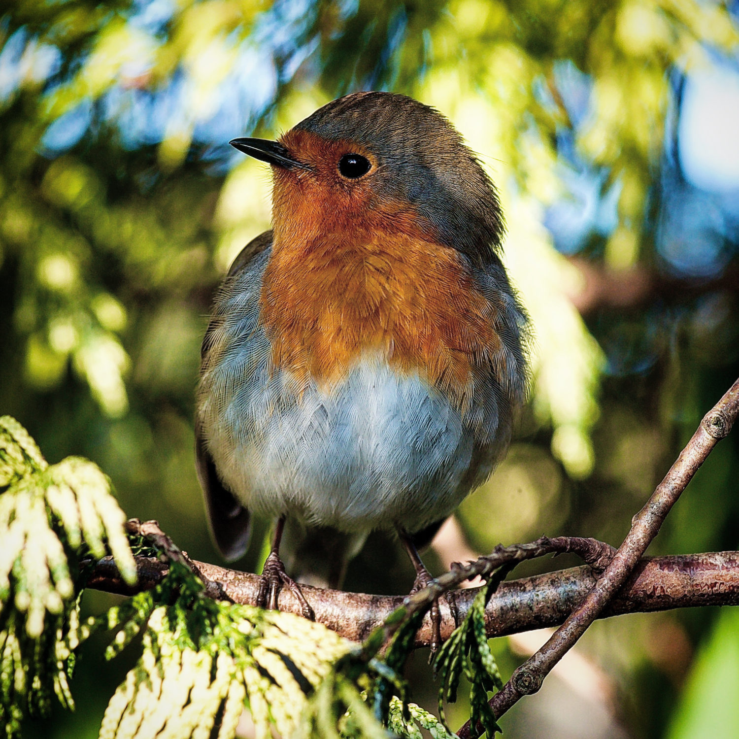 Photograph of a Robin perched on a tree branch looking off to the left.