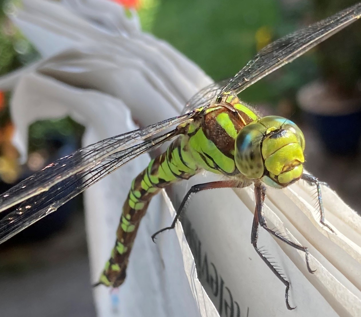 A close-up photograph of a green and brown Southern Hawker dragonfly perched on the edge of a newspaper.