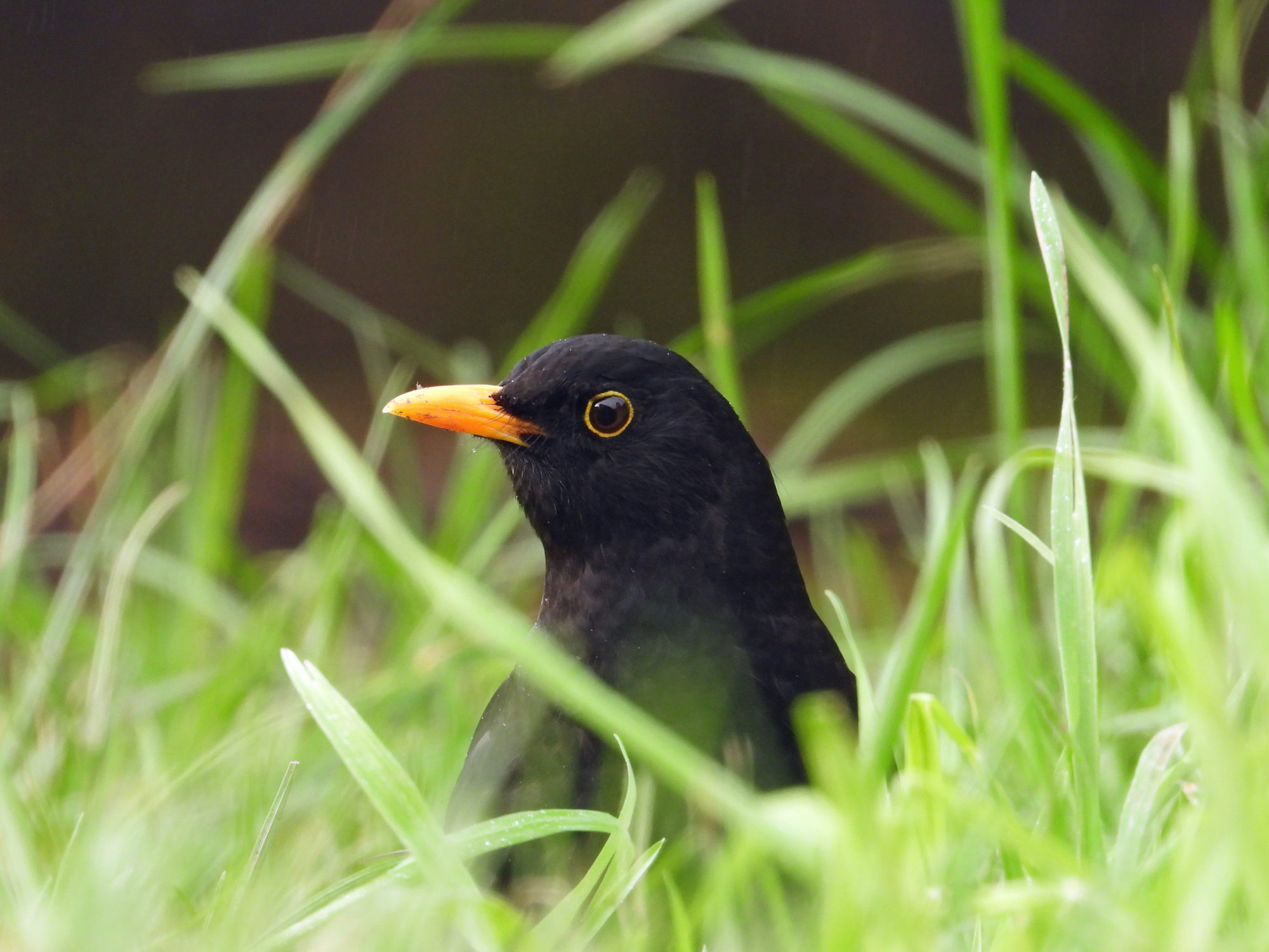 Photograph of a Blackbird hiding in the grass and looking off towards the left.