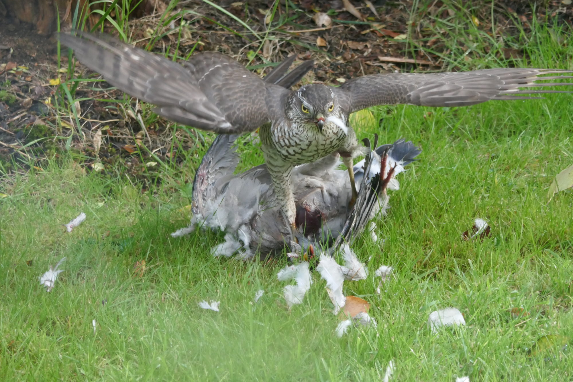 Photograph of a Sparrowhawk attacking a Pigeon on grass with its wings outstretched.