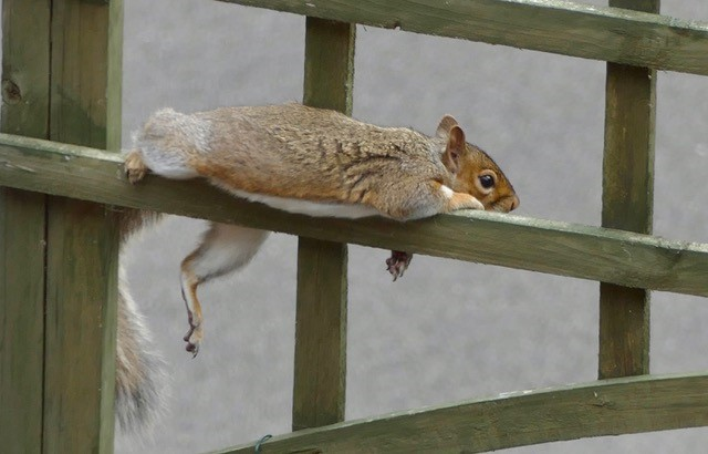 Photograph of a squirrel lying on a wooden garden fence with its arms and legs dangling.