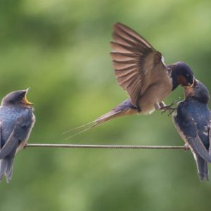 Photograph of a Swallow feeding its two young from its mouth as they perch on a string washing line.
