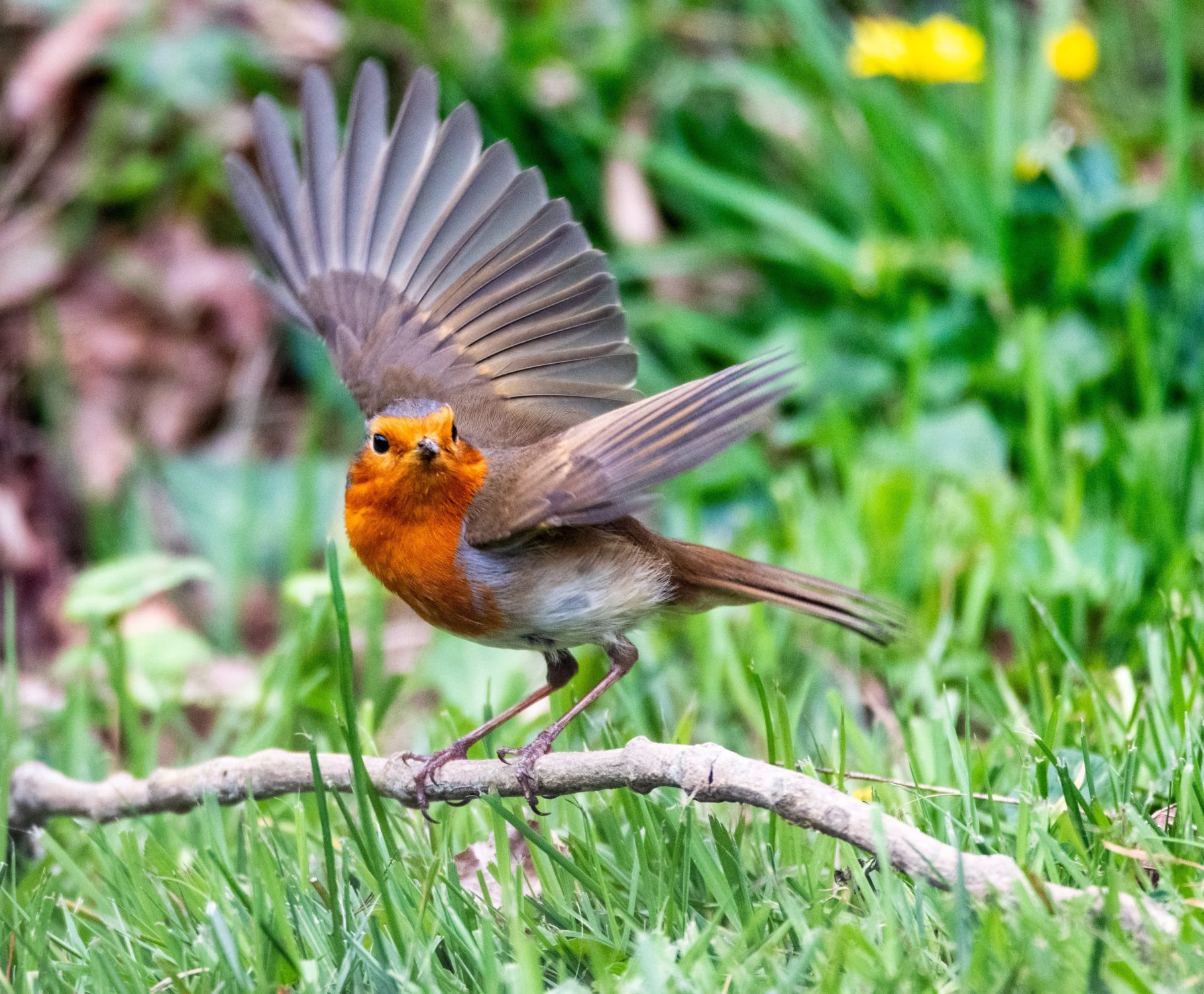Photograph of a Robin perched on a twig on the grass, with its wings outstretched and looking at the camera.