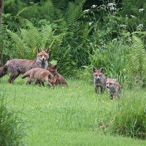 Photograph of a fox and its four cubs with ferns and flowers in the background and a tree trunk in the foreground.