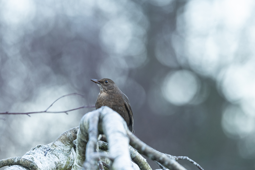 Photograph of a female blackbird as she perches on a frosty free branch and looks off to the left.