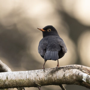 Photograph of a male blackbird from behind, as he perches on a tree branch and looks off to the left.