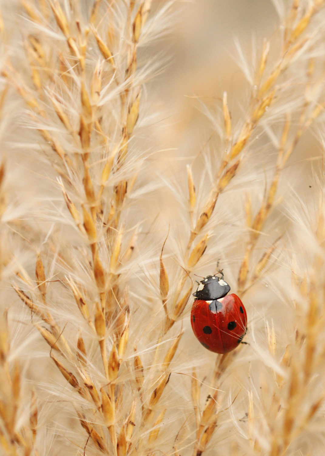 Close-up photograph of a ladybird crawling on a strand of wheat.